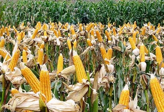 Công nghệ sinh học giúp tăng cường an ninh lương thực và cải thiện dinh dưỡng