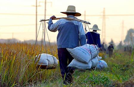 Nông dân Trung Quốc thu hoạch lúa. Ảnh: nytimes.com.