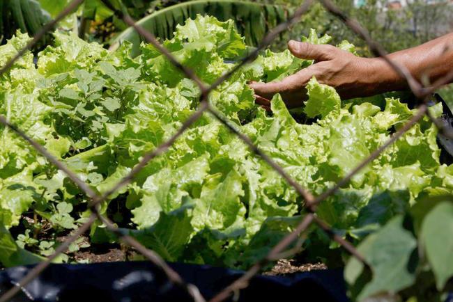 Mơn mởn chiến dịch làm nông thành thị tại Venezuela