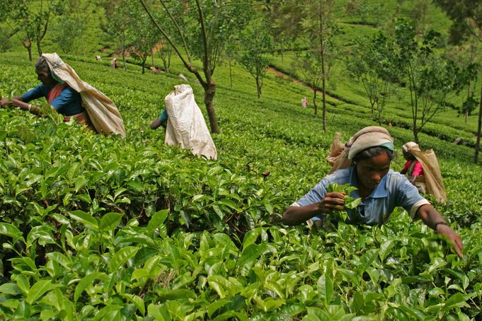 Sri Lanka – Ngành Chè thống nhất kêu gọi dỡ bỏ lệnh cấm sử dụng glyphosate